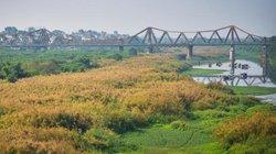 Ảnh: Cánh đồng lau trắng lãng mạn bên cây cầu trăm tuổi Long Biên