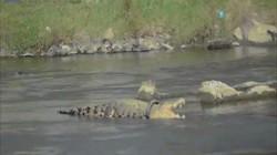 Video: Cá sấu khổng lồ dài 4m bị lốp xe quấn quanh cổ suốt 3 năm