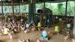 """Bắc Kạn: """"Đột nhập"""" trại nuôi bạt ngàn gà ri, chim câu ở rừng keo"""
