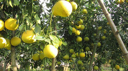 Chơi trội: Đại gia Hà thành 'ôm trọn' vườn bưởi cổ 2.000 quả găm Tết