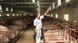 Nhập khẩu thịt lợn: Người chăn nuôi lo nhập ồ ạt, mất cơ hội gỡ gạc