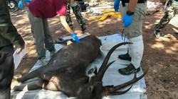 Thái Lan: Hươu 10 năm tuổi lăn ra chết, choáng với những thứ lấy ra khi mổ bụng