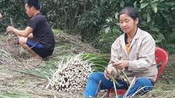 """""""Cây làm giàu"""" chỉ còn 2.000 đồng/kg, dân xứ Mường mặc cho cỏ mọc"""