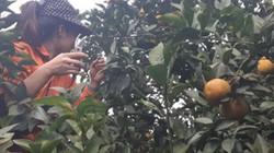 """Người trồng cam, bưởi nếm...""""trái đắng"""", khắp nơi giá giảm"""
