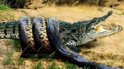 """""""Mãng xà"""" khổng lồ liều lĩnh đòi ăn thịt cá sấu và cái kết"""