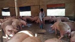 Dựng hàng rào, mua lưới ngăn chim, chuột chống dịch tả lợn châu Phi