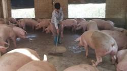 Hậu dịch tả lợn châu Phi: Tái đàn không tái dịch