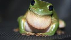 Loạt 'siêu năng lực' của loài ếch khiến con người ao ước được sở hữu