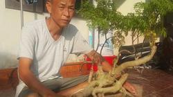 """Thái Bình: Đưa """"nhân sâm người nghèo"""" lên làm bonsai, thu tiền to"""