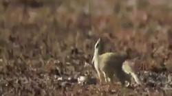 Video: Khoảnh khắc cầy mangut tung người né đòn hổ mang chúa