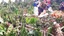 Gia Lai: Thực hư vườn cà phê chín đỏ bị huyện cưỡng chế chặt hạ