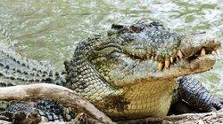 Đàn cá sấu mỗi tháng ăn thịt một người ở quốc gia Đông Nam Á