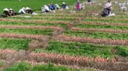 Bắc Ninh xây dựng vùng chuyên canh cà rốt xuất khẩu 12ha