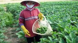 Lạ mà hay: Trồng giống đậu bắp Nhật Bản ra trái nhiều, không lo ế
