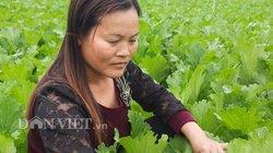 Nơi dân trồng rau cải, xu hào, xà lách tốt tươi, ngày nào cũng có tiền