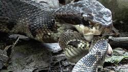 Gặp mãng xà kịch độc, rắn đuôi chuông bị hạ gục trong tích tắc