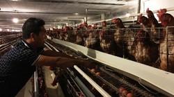 Ninh Thuận: Nuôi gà ngoại đẻ trứng sòn sòn, thu 250 triệu đồng/tháng