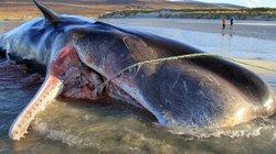 """Scotland: Mổ bụng cá nhà táng 20 tấn mắc cạn, phát hiện """"núi rác"""" khổng lồ"""