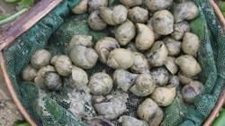 """Bỏ nghề thổi bễ đi nuôi giống ốc """"siêu đẻ"""", bán giá 100.000 đồng/kg"""