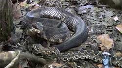 """Sau đòn hiểm của mãng xà kịch độc, rắn đuôi chuông """"chết không kịp ngáp"""""""