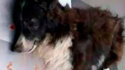 Chú chó trung thành lãnh đạn vào đầu thay chủ trong vụ cướp