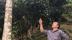 """Loài cây đặc biệt giúp người dân Bình Văn """"đuổi nghèo"""""""