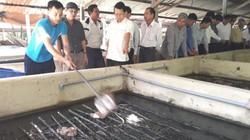 Lãi tiền tỷ nhờ nuôi lươn ở chuồng heo bỏ không sau dịch tả
