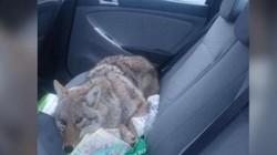 Canada: Lái xe đâm phải sinh vật dễ thương, đưa về mới ngã ngửa ra là nhầm