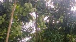 Không chạy theo cây mít, trồng xoài Cát Chu thu 300 triệu đồng/năm