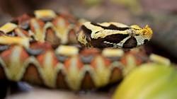 Rắn Gabino: Con lai giữa 2 loài rắn kịch độc nguy hiểm nhất thế giới