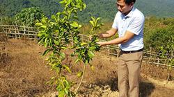 Đất khó Mường Pồn đặt kỳ vọng vào cây bưởi da xanh
