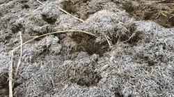 Sương muối trắng xóa cao nguyên Mộc Châu, nông dân lo sốt vó