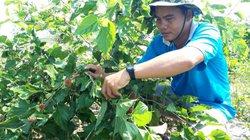 Thầy giáo làm thêm nghề trồng dâu tằm lấy quả, kiếm bộn tiền