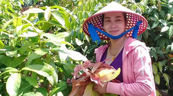 Đem rau rừng về trồng đất vườn, hái bao nhiêu bán hết bấy nhiêu