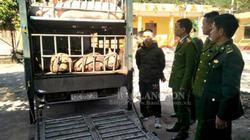 Lạng Sơn: Bắt giữ 2,5 tấn lợn trên đường vượt biên sang Trung Quốc