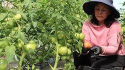Bí quyết canh tác cà chua chuẩn an toàn sinh học