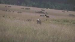 """Video: Sư tử """"tàng hình"""" áp sát, con mồi đứng ngay cạnh không hề hay biết"""