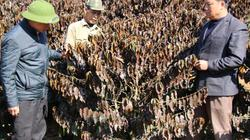 Xót xa: Sương muối làm cháy hàng trăm hecta cà phê ở Sơn La
