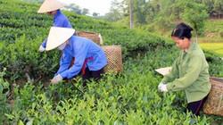 Supe Lâm Thao đồng hành nhà nông Thái Nguyên chăm sóc cây chè