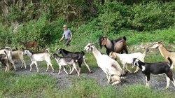 Đà Nẵng: Vào núi nuôi đàn dê 100 con, con nào cũng béo ngon