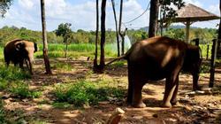 Đắk Lắk: Dân bất an vì đàn voi rừng vài chục con kéo đi phá rẫy