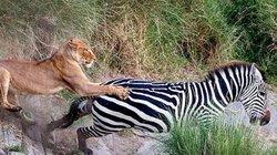 Ngựa vằn đơn độc vượt sông gặp sư tử phục kích và cái kết kịch tính