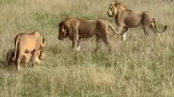 Video: Sư tử đực giành mồi với đàn sư tử cái và kết cục để kẻ thứ ba cướp mất