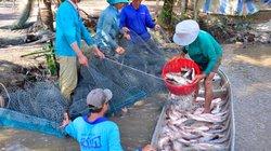 Kiên Giang: Nuôi cá ruộng, trồng dưa leo mùa lũ mà thành triệu phú