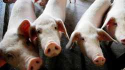 Khủng hoảng thịt lợn biến người nuôi heo TQ thành tỷ phú chóng vánh