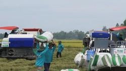 HTX kiên trì 7 năm trồng lúa theo tiêu chuẩn Global GAP
