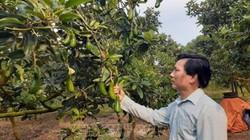 Thạc sỹ thôi việc nhà nước về trồng bơ, ép ra quả trái vụ, lời 4 tỷ/năm