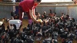 Gà đỏ là giống gà gì mà dân Tuyên Quang nuôi thả rông làm giàu?