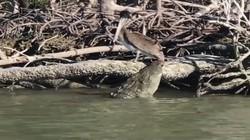 """Video: Cá sấu đói từ từ tiến đến đớp bồ nông, """"mồi ngon"""" tận miệng vẫn không dễ xơi"""