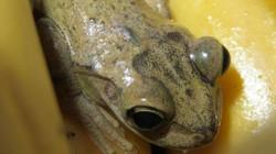 Chú ếch di chuyển hơn 8.000 km từ Nam Mỹ sang Anh
